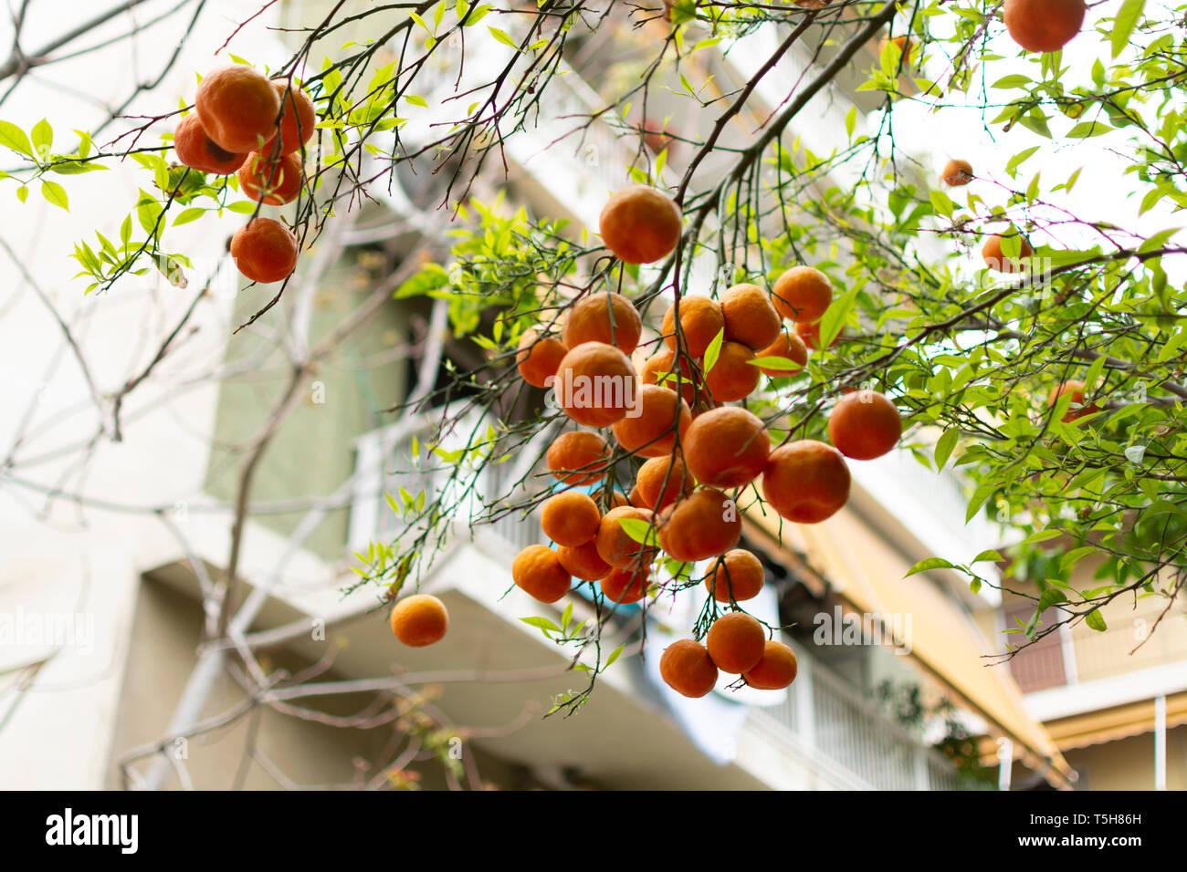 Ripe orange mandarine citrus fruit hanging on tree in Athens, Greece Stock Photo