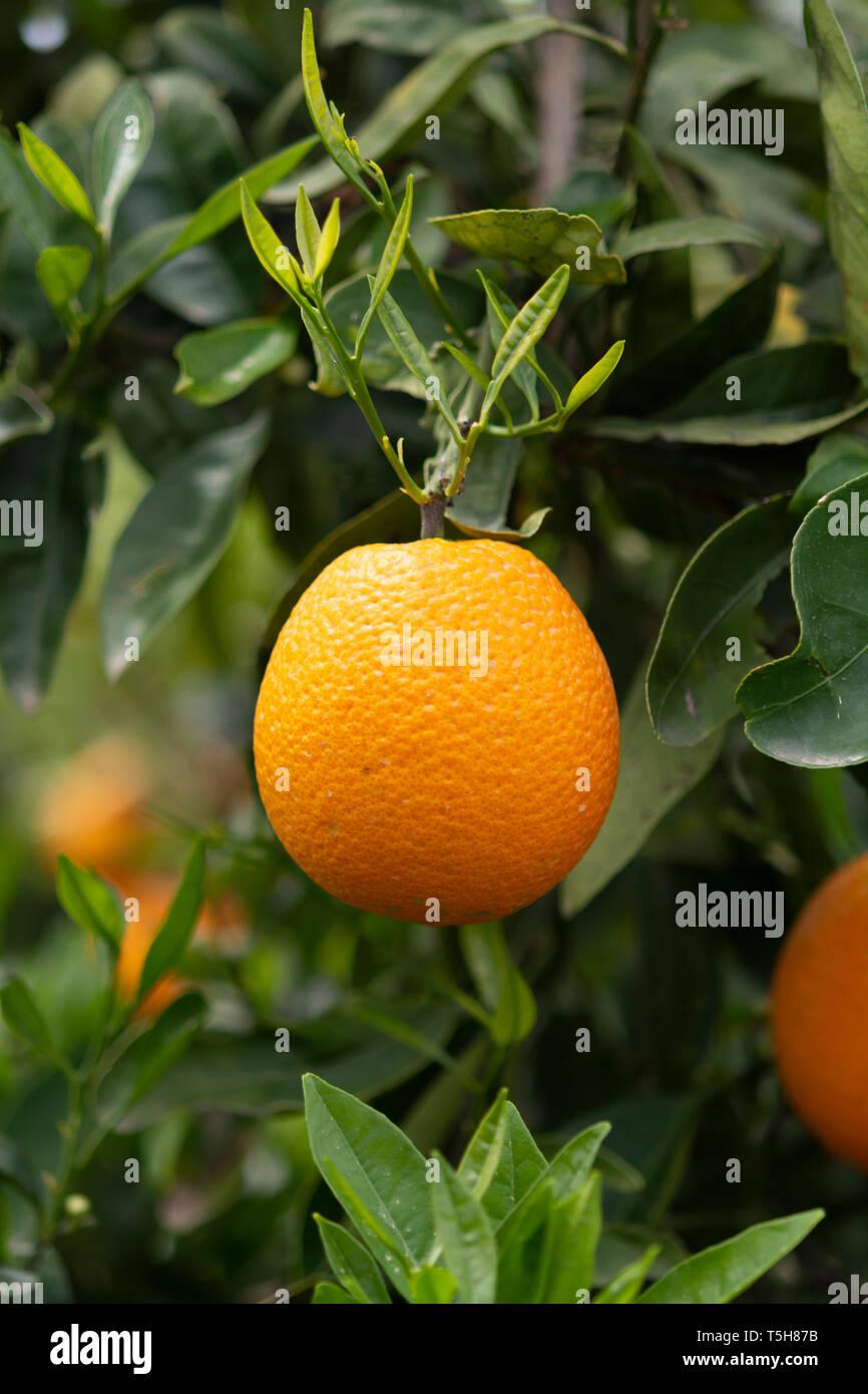 Orange citrus fruit plantations on Peloponnese, Greece, new harvest of sweet juicy oranges Stock Photo