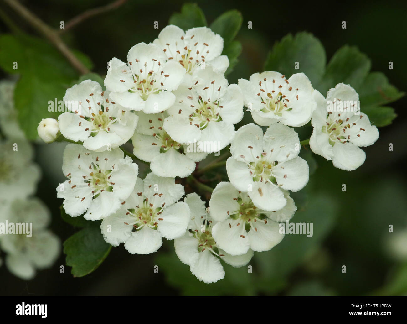 A branch of beautiful Hawthorn Tree, blossom, Crataegus monogyna, growing in the countryside in the UK. - Stock Image