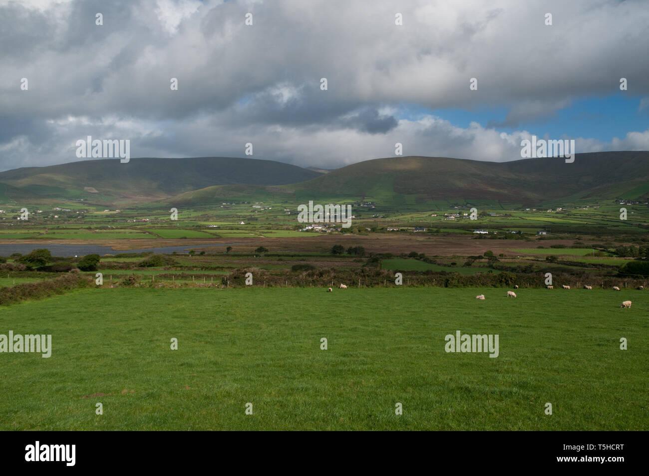 Schafe, die in der Dingle-Halbinsel, Grafschaft Kerry, Irland weiden lassen. / Sheep grazing near Dingle, Co. Kerry, Ireland. - Stock Image