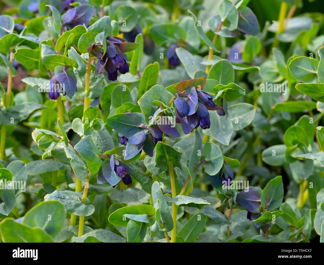 Honeywort Cerinthe major 'Purpurascens' - Stock Image