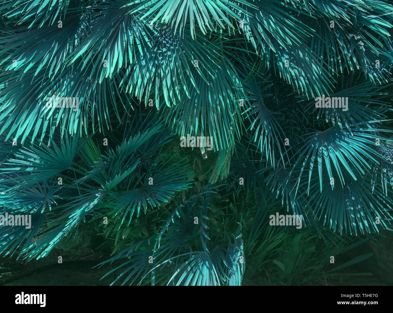 Mallorca endemic fan palm Chamaerops humilis lush leaves in sunshine abstract teale color. - Stock Image