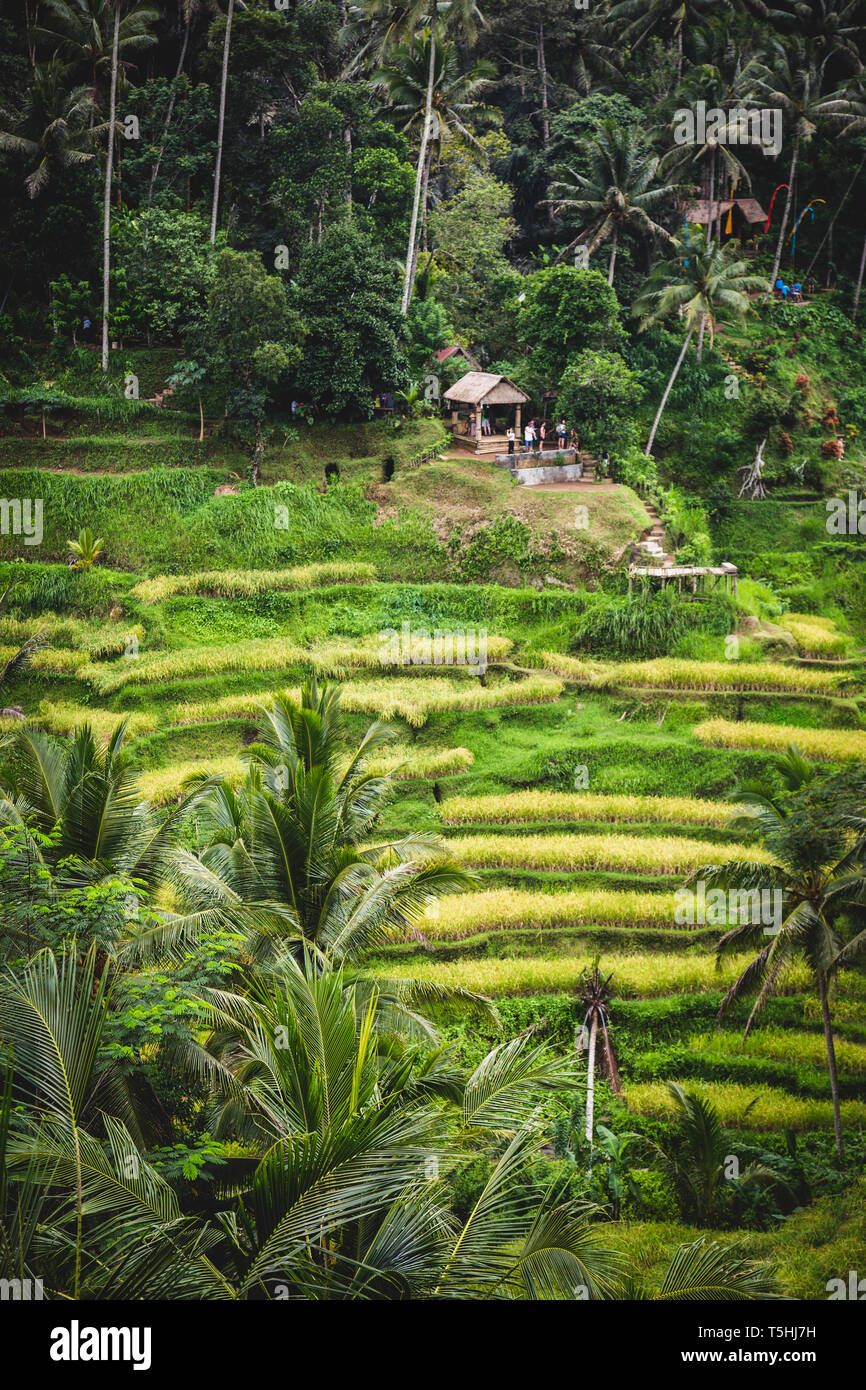 Visitors at Tegallalang Rice Terraces in Bali, Indonesia - Stock Image