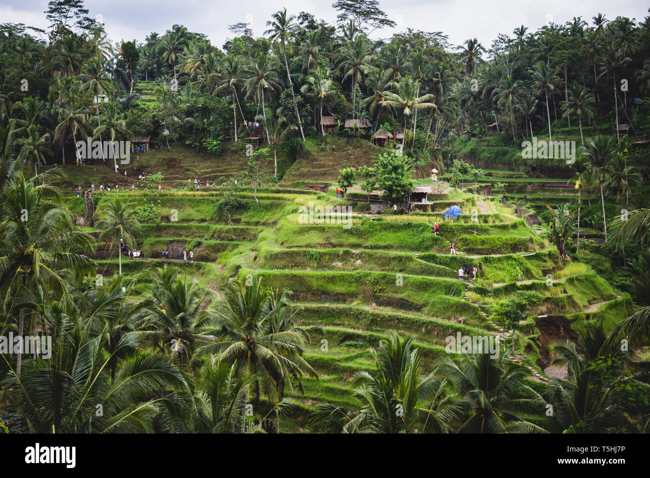 Tegallalang Rice Terraces in Bali, Indonesia - Stock Image