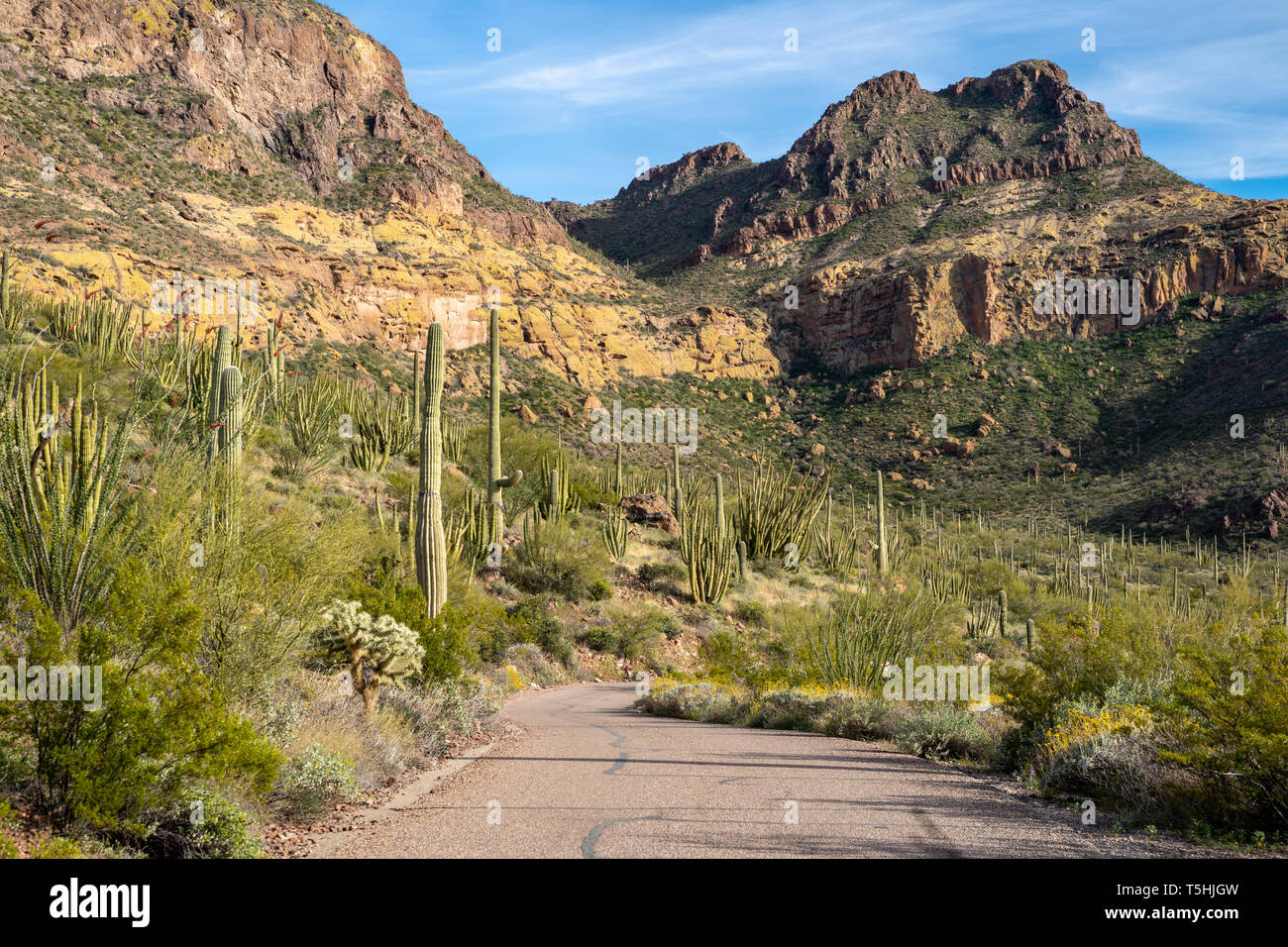 Organ Pipe Cactus and Saguaro cacti grow together in harmony along Ajo Mountain Drive in Arizona in the National Monument - Stock Image
