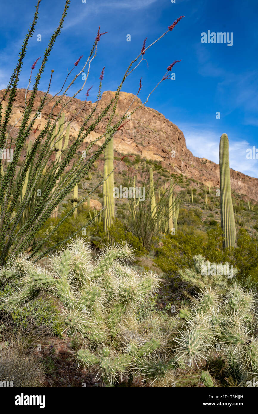 Cholla cactus, ocotillo plants and saguaro cactus grow together along Ajo Mountain Drive in Arizona in Organ Pipe National Monument - Stock Image