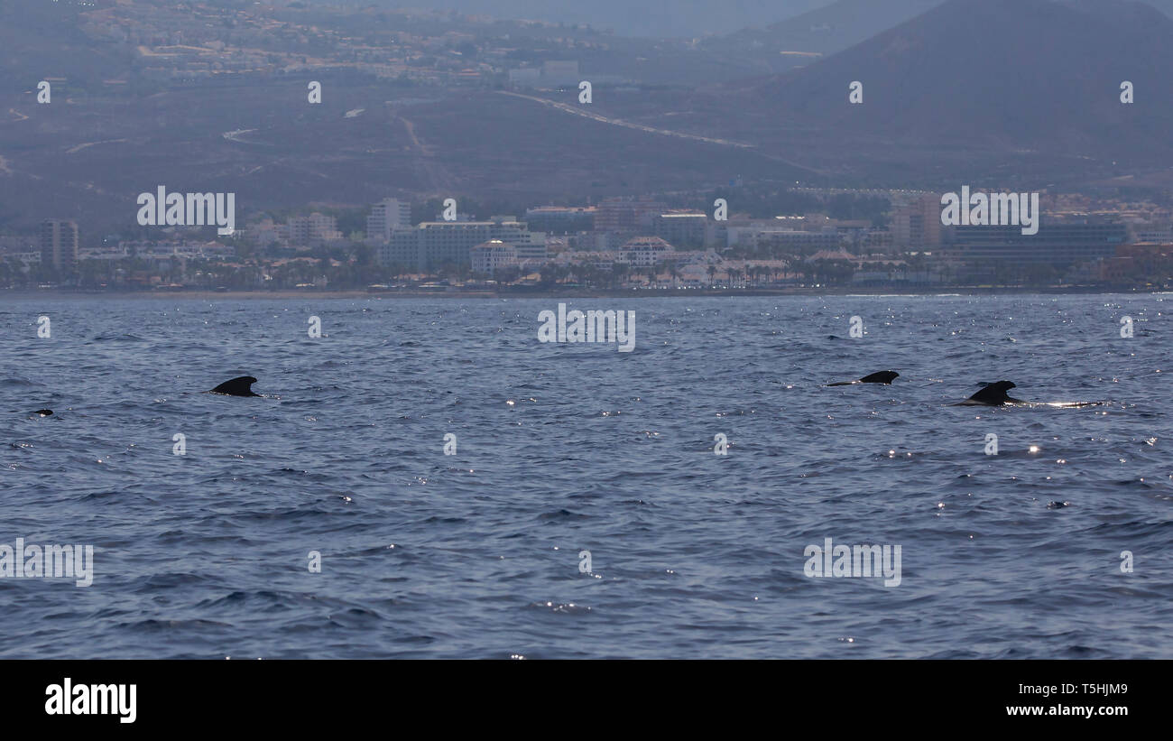 Group of bryde's whale (balaenoptera edeni) in Adeje Coast (south of Tenerife), Canary islands, Spain. - Stock Image