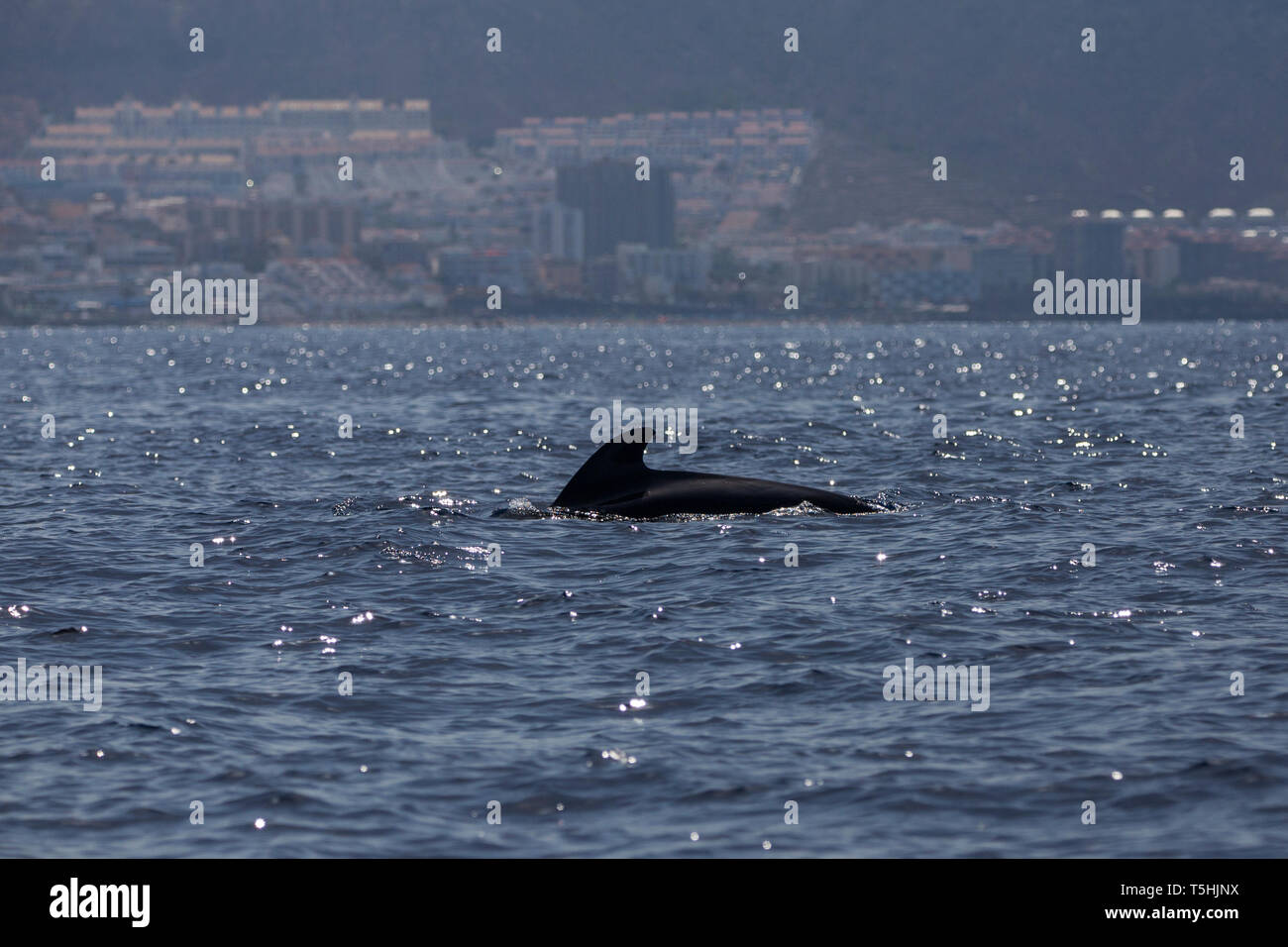 Bryde's whale (balaenoptera edeni) in Adeje Coast (south of Tenerife), Canary islands, Spain. - Stock Image