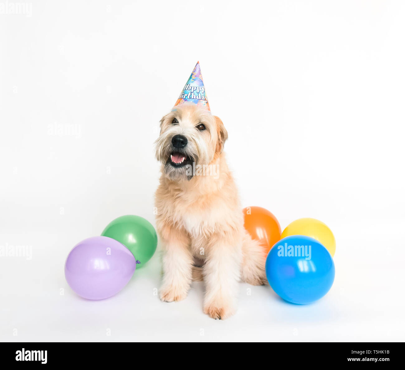 Fluffy Dog Wearing Birthday Hat With Balloons On White Background