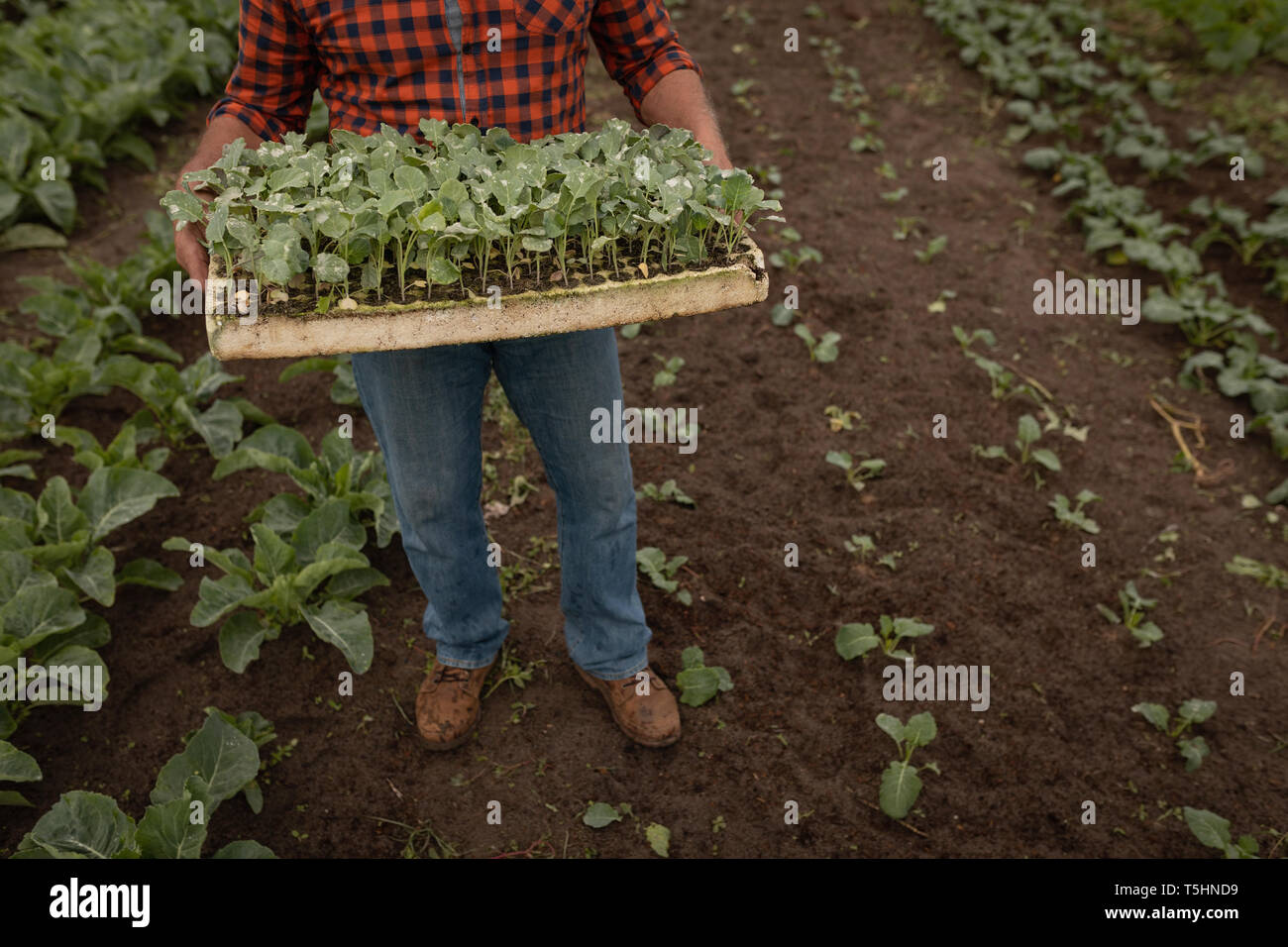 Senior male farmer collects the harvest from the farm - Stock Image