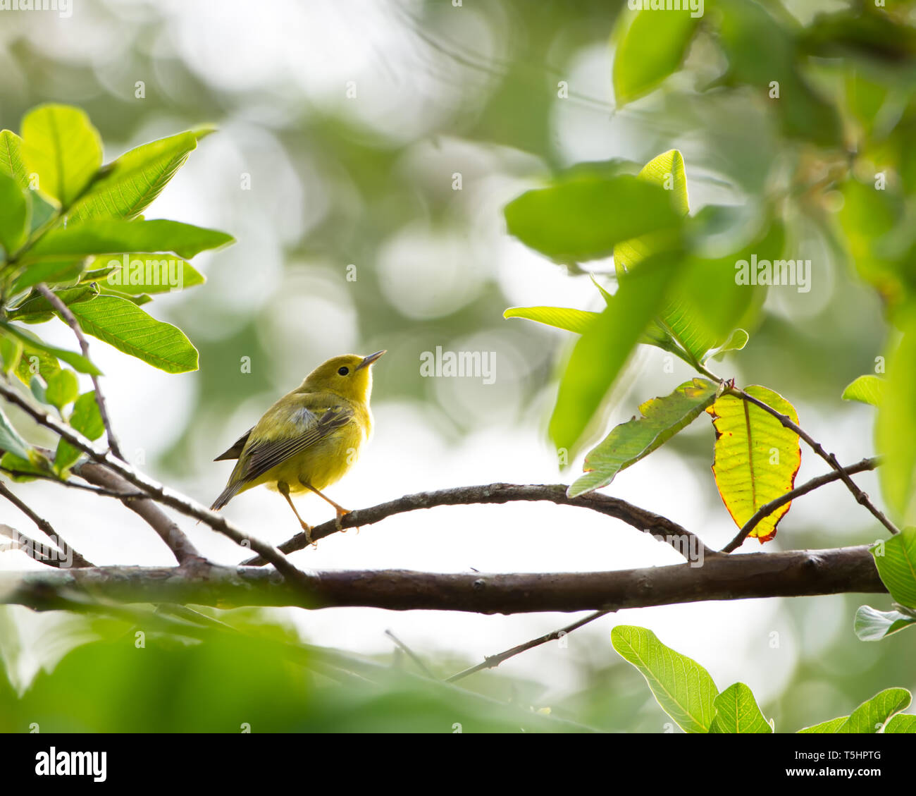 Yellow Warbler (Setophaga petechia) bird on a branch during migration on Panama - Stock Image