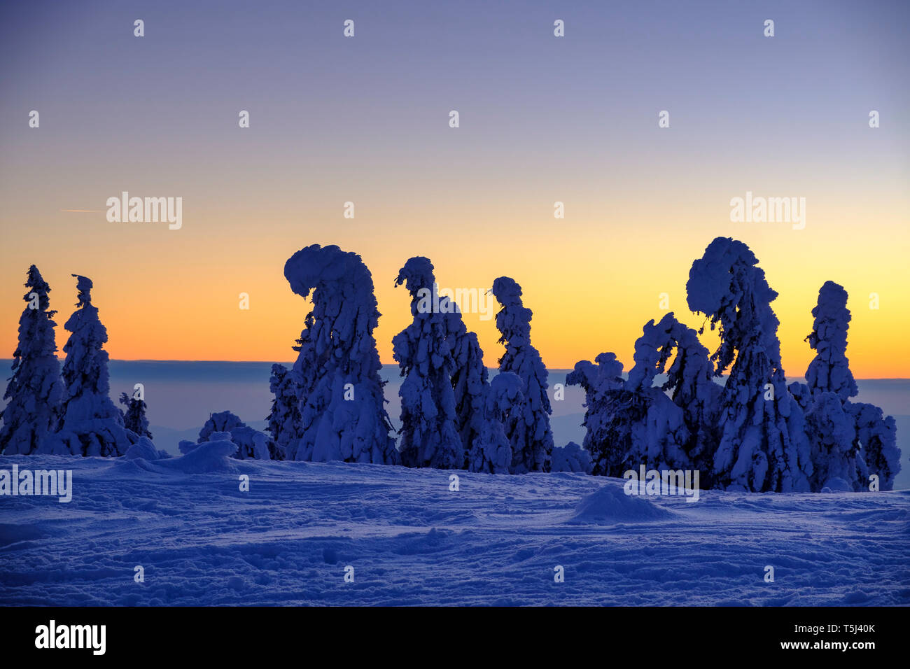 Germany, Bavaria, Bavarian Forest in winter, Great Arber, Arbermandl, snow-capped spruces at sunset - Stock Image
