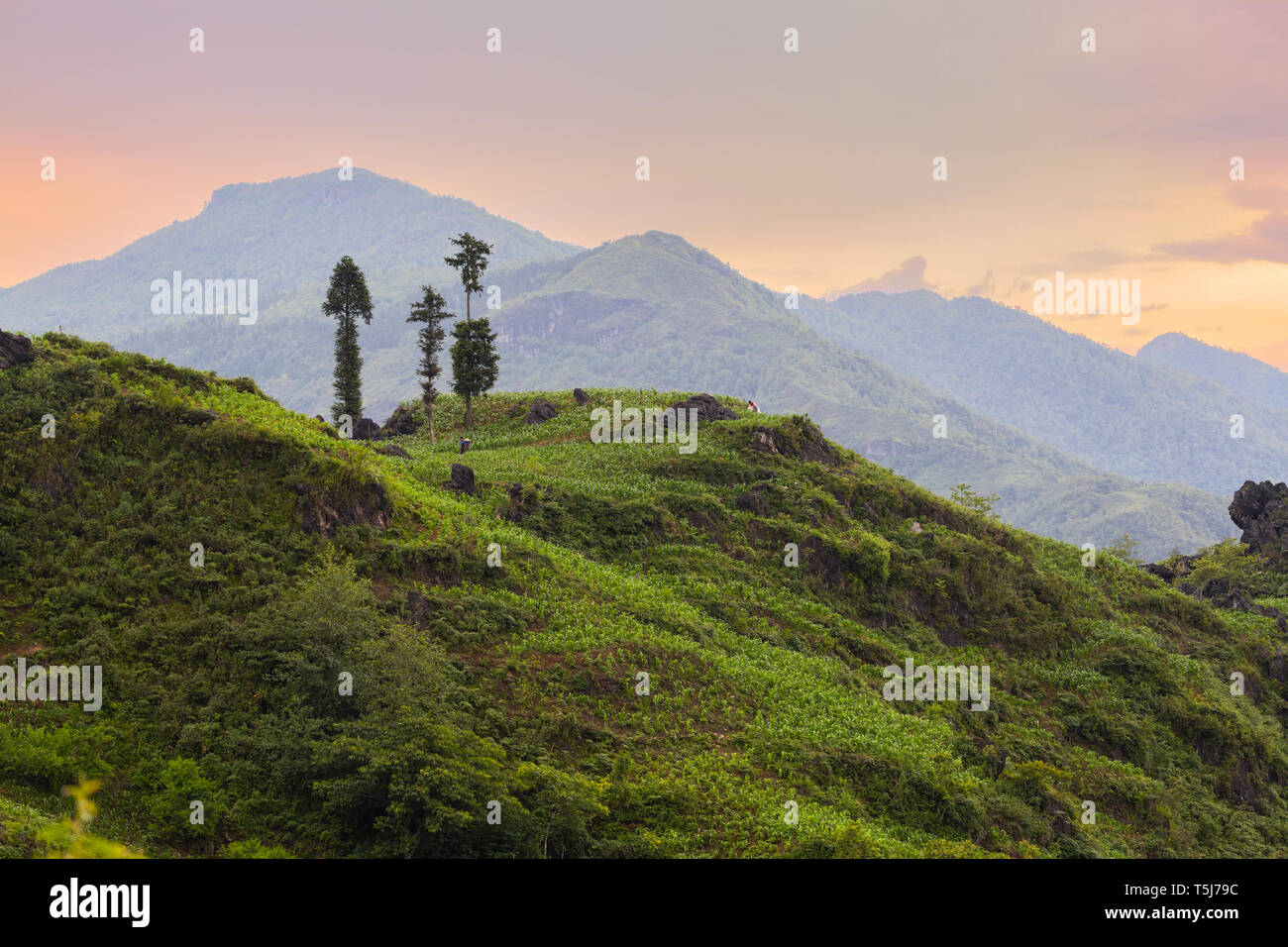 Three trees ontop of a hilltop, SaPa, Vietnam, Asia Stock Photo