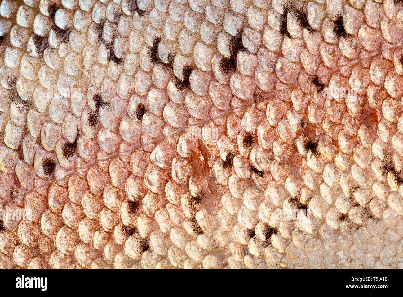 Close up photograph showing the scales and colouration of a rainbow trout, Oncorhynchus mykiss, that was caught fly fishing in a stocked reservoir in  - Stock Image