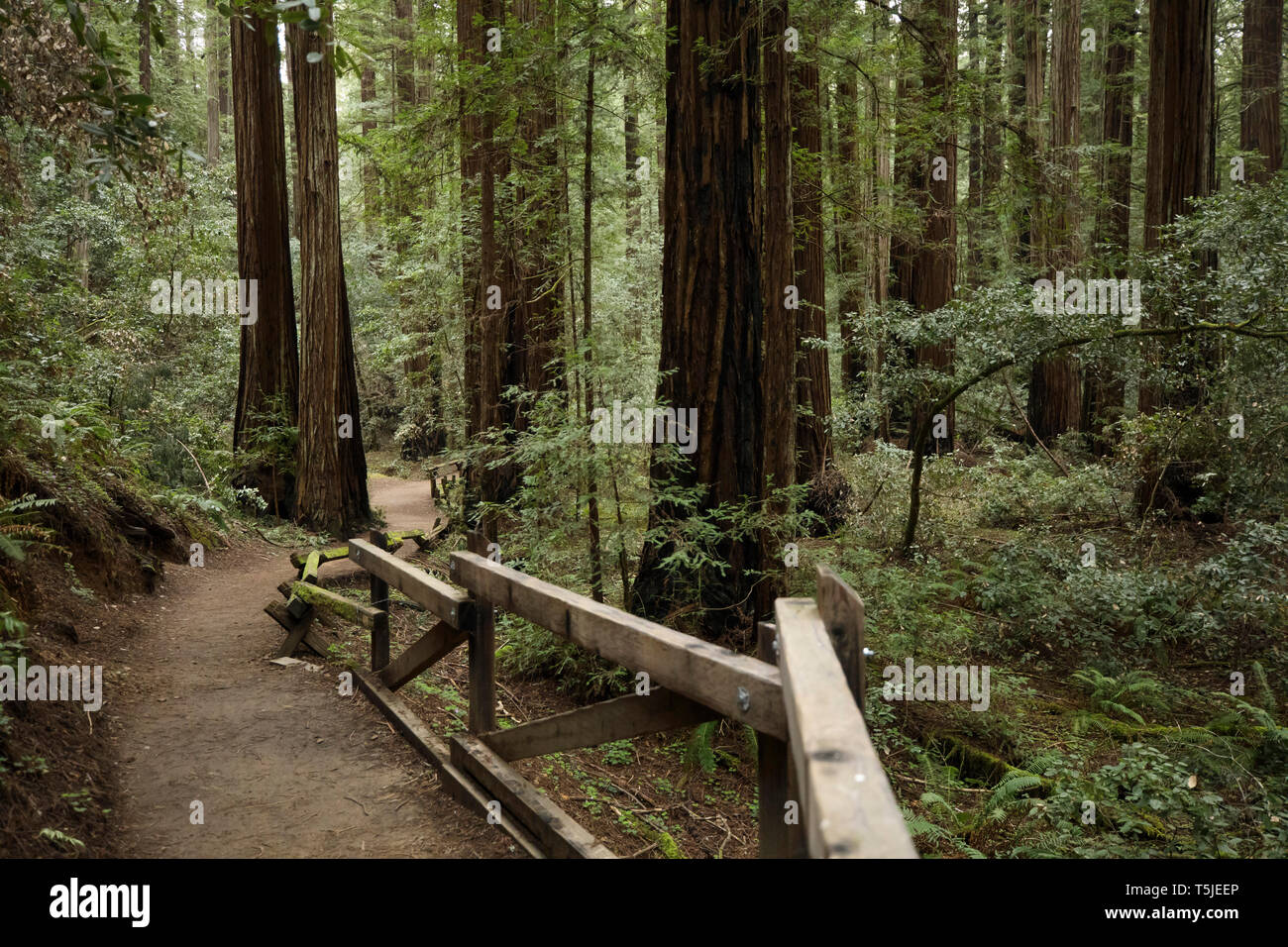 The Armstrong Redwoods State Reserve in Guerneville, California is home to thousands of towering redwood trees (Sequoia sempervirens) that are easily  - Stock Image