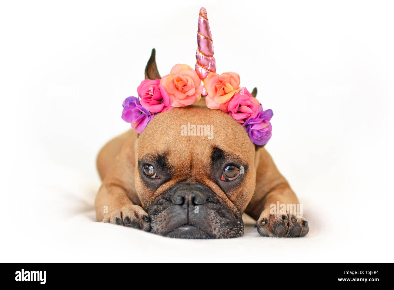 Cute brown French Bulldog dog with pink flower and unicorn horn headband lying on ground in front of white studio background Stock Photo