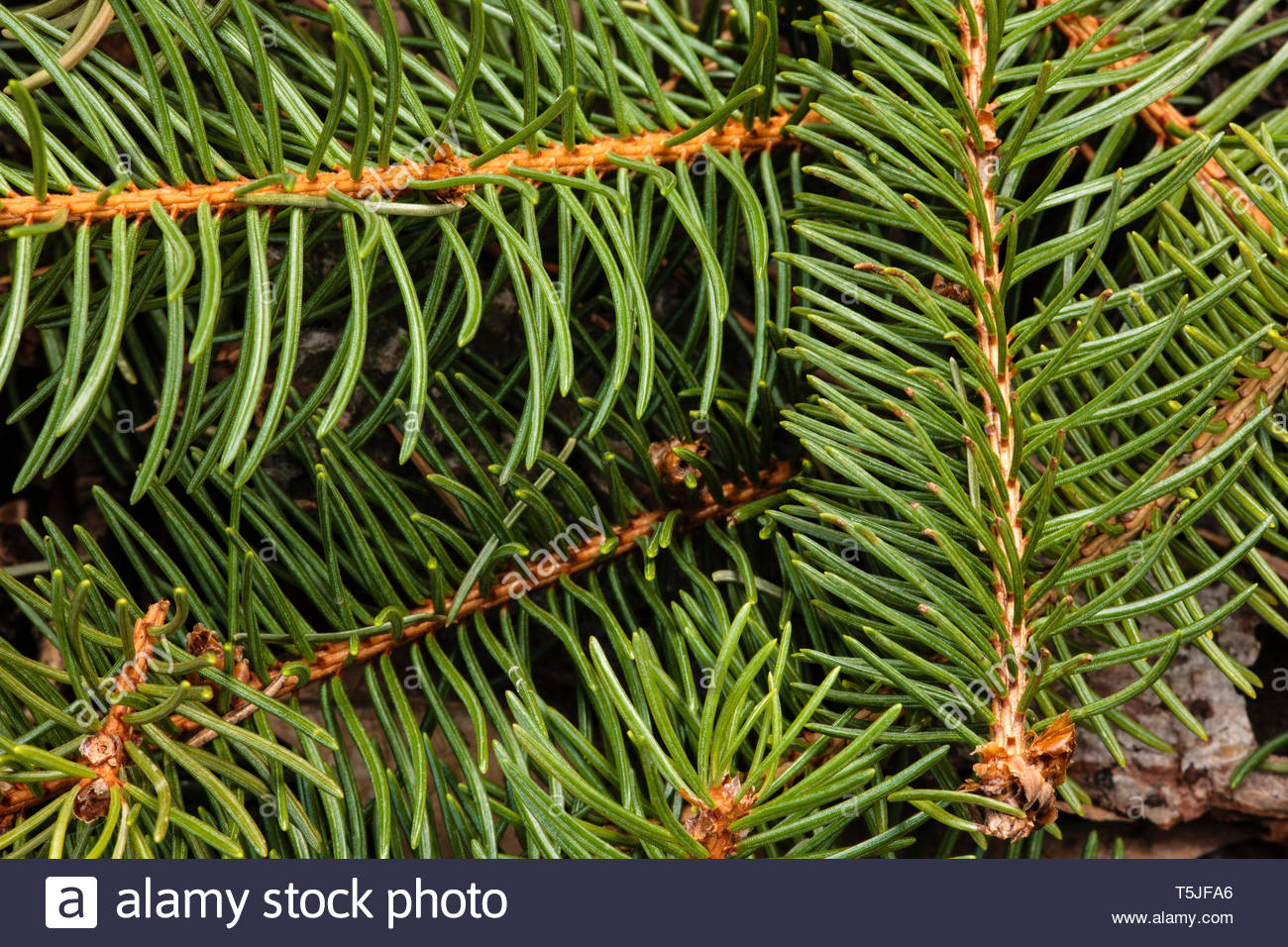 Following a recent spring storm, the ends of the spruce branches covered the forest floor, in an interlacing pattern, within the Pike Lake Unit, Kettl Stock Photo