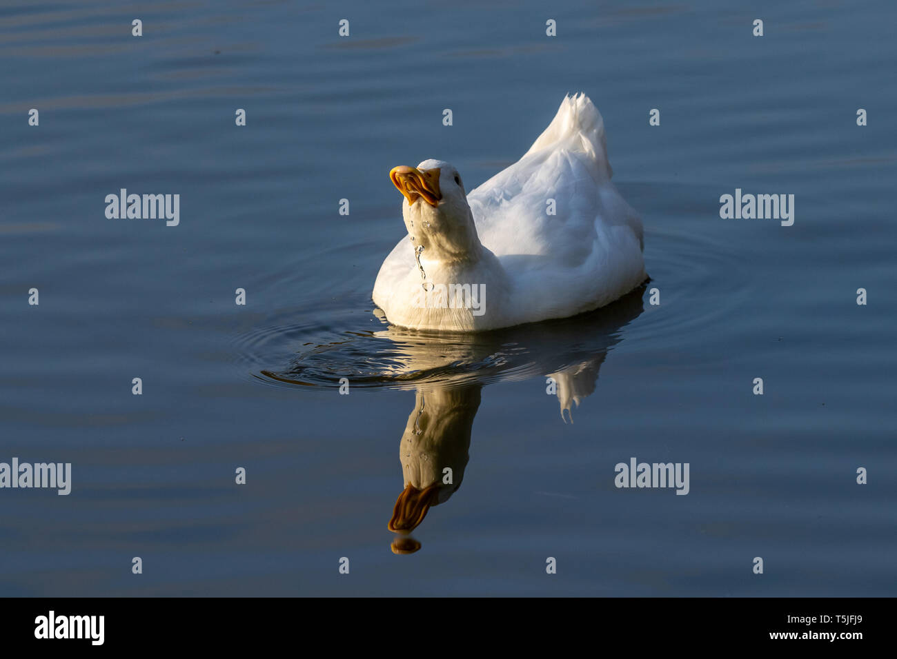 Pekin duck (also known as Long Island or Aylesbury duck) on a still calm lake with reflection in the water - Stock Image