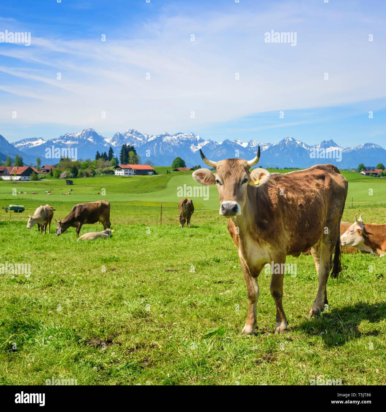 Traditional farming in eastern Allgäu - Stock Image
