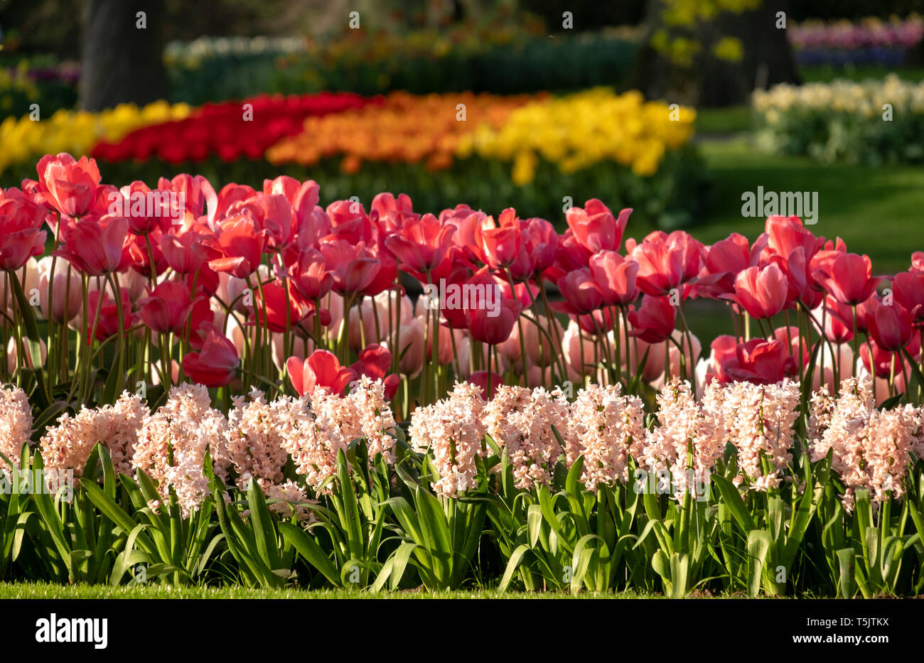 Tulips in vibrant colours on display at Keukenhof Gardens, Lisse, South Holland. Lisse is the centre of Holland's floriculture industry. - Stock Image
