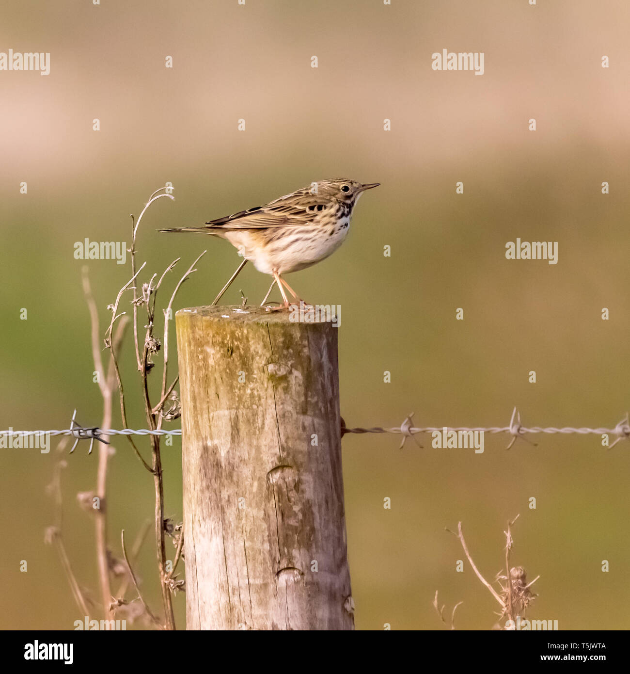 Meadow Pipit (Anthus pratensis) sitting on a fence post along the North Norfolk Coastal path England UK - Stock Image