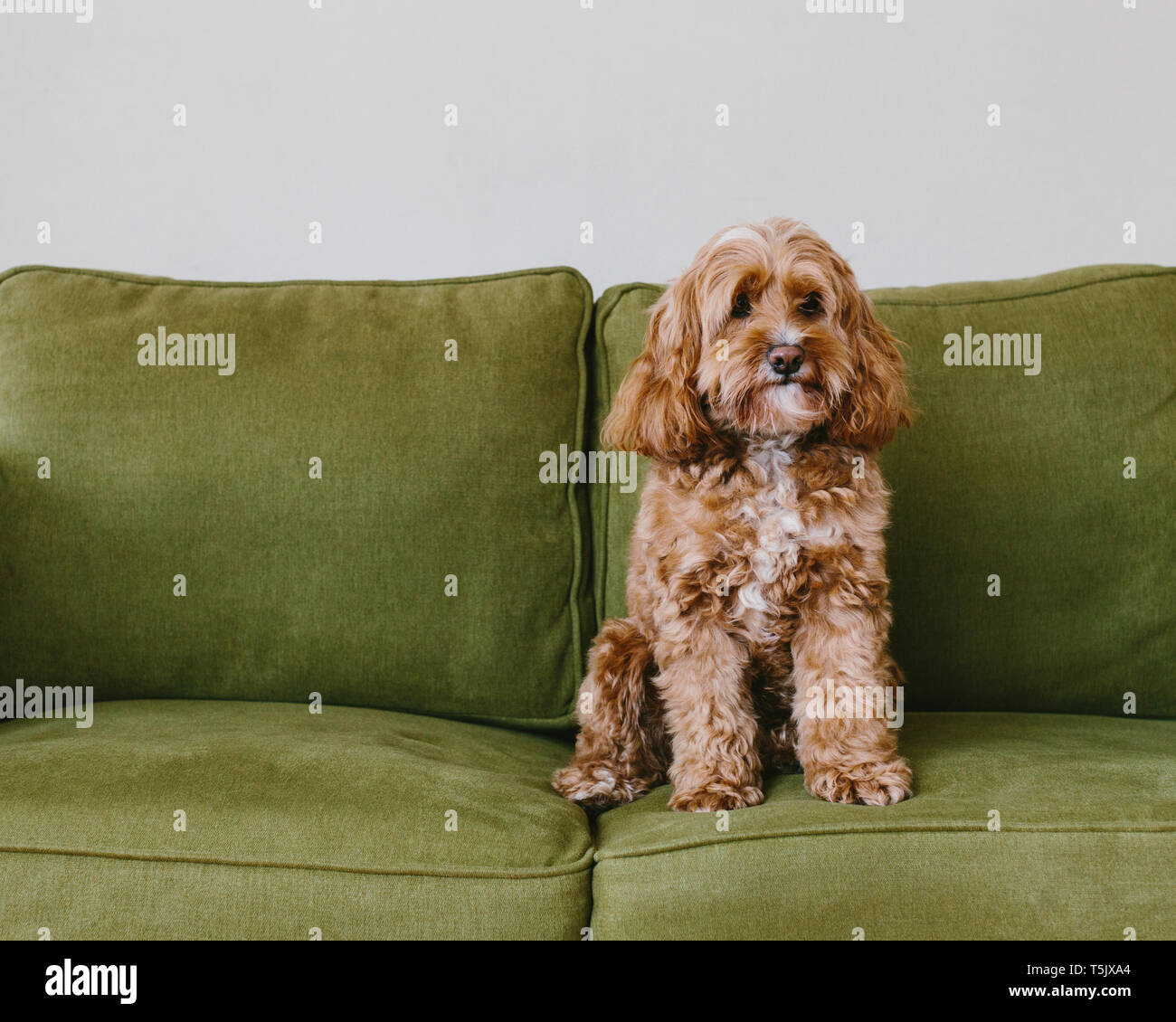 A cockapoo mixed breed dog, a cocker spaniel poodle cross, a family pet with brown curly coat sitting on a chair - Stock Image