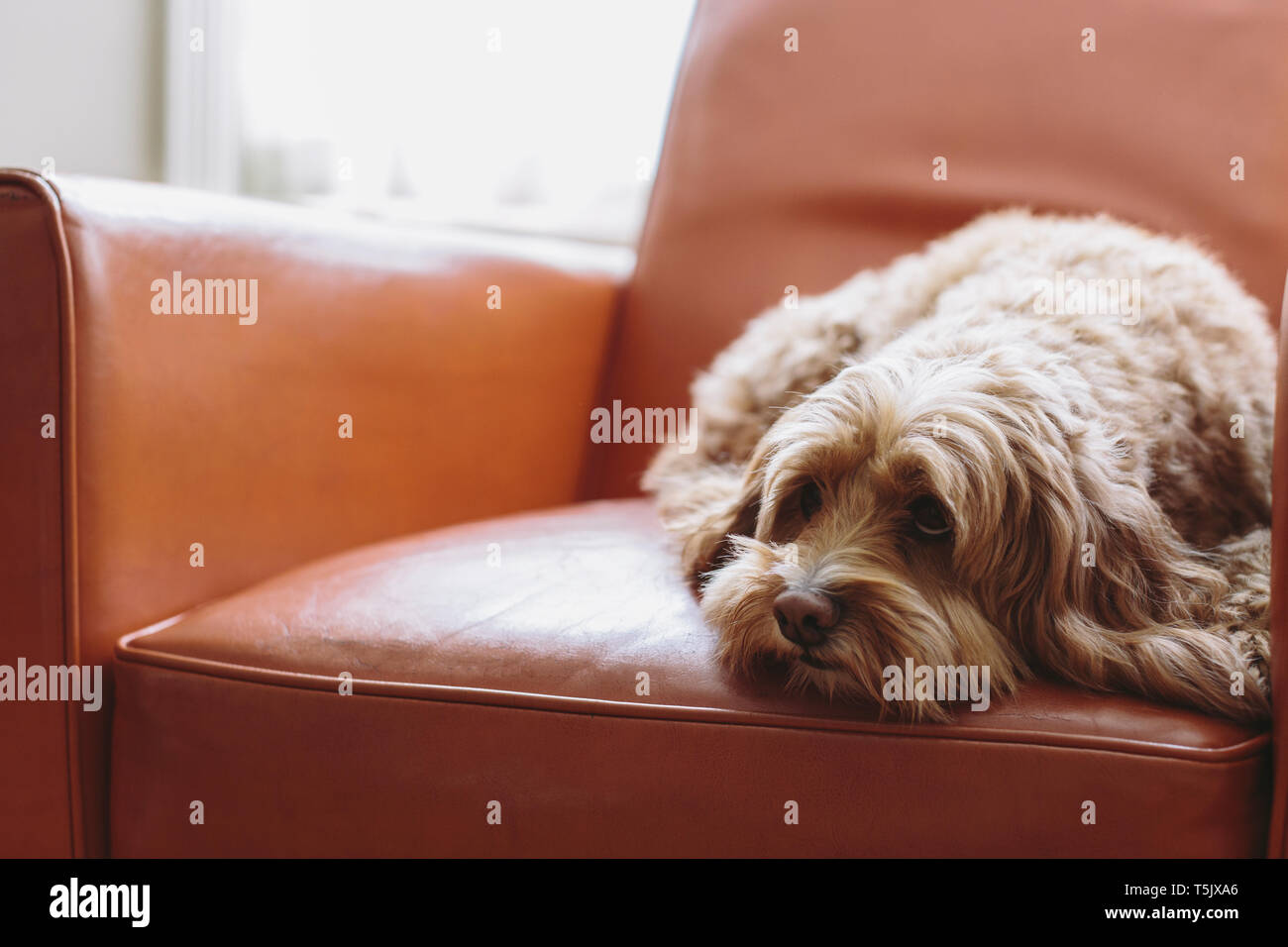 A cockapoo mixed breed dog, a cocker spaniel poodle cross, a family pet with brown curly coat lying on a brown leather chair. - Stock Image