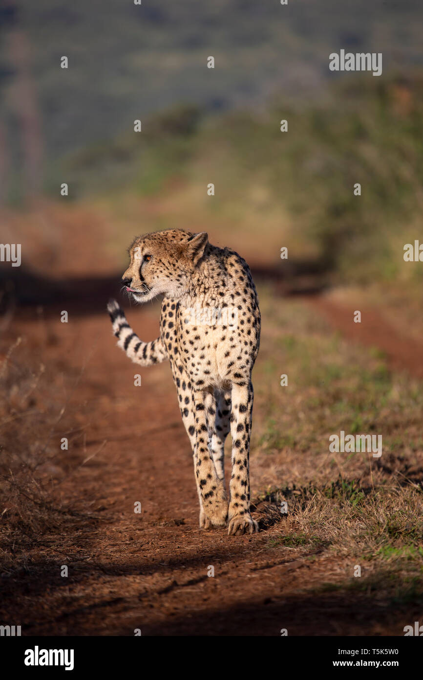Cheetah Acinonyx jubatus prowling along a dirt track in Kwa Zulu Natal, South Africa Stock Photo