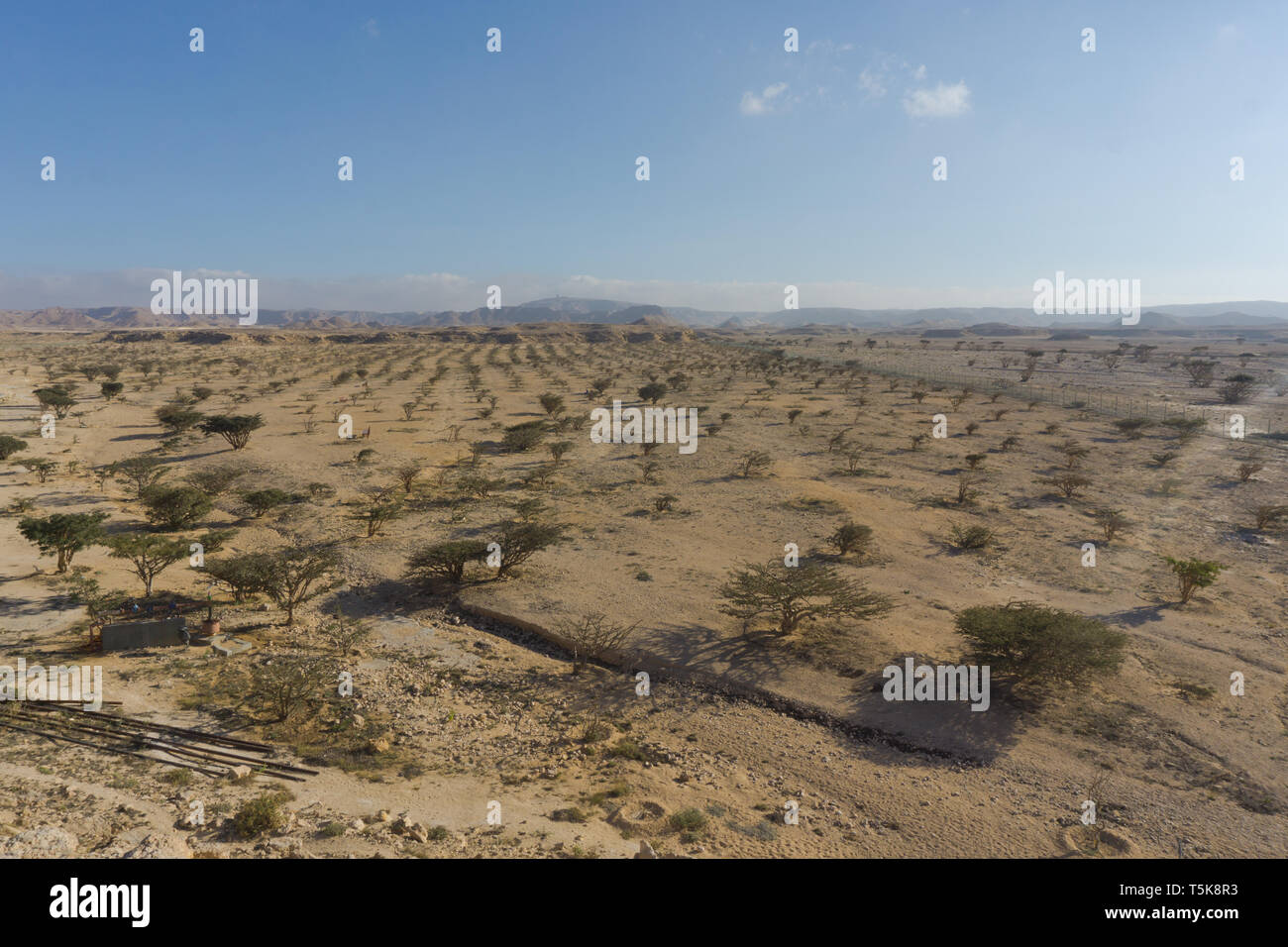 Frankincense trees, Salalah, Dhorfar, Oman Stock Photo