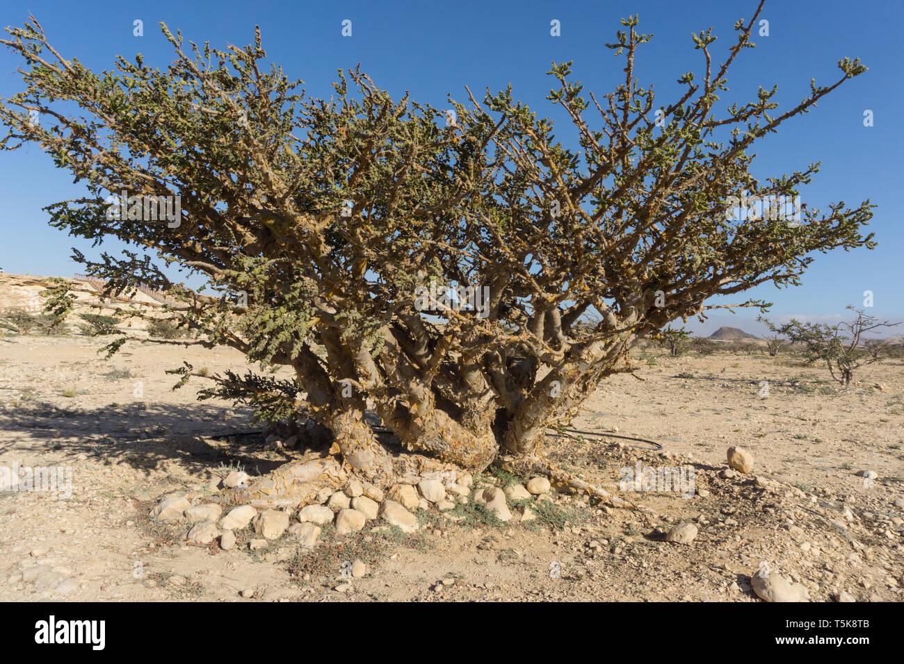 Frankincense tree, Dhofar, Oman Stock Photo