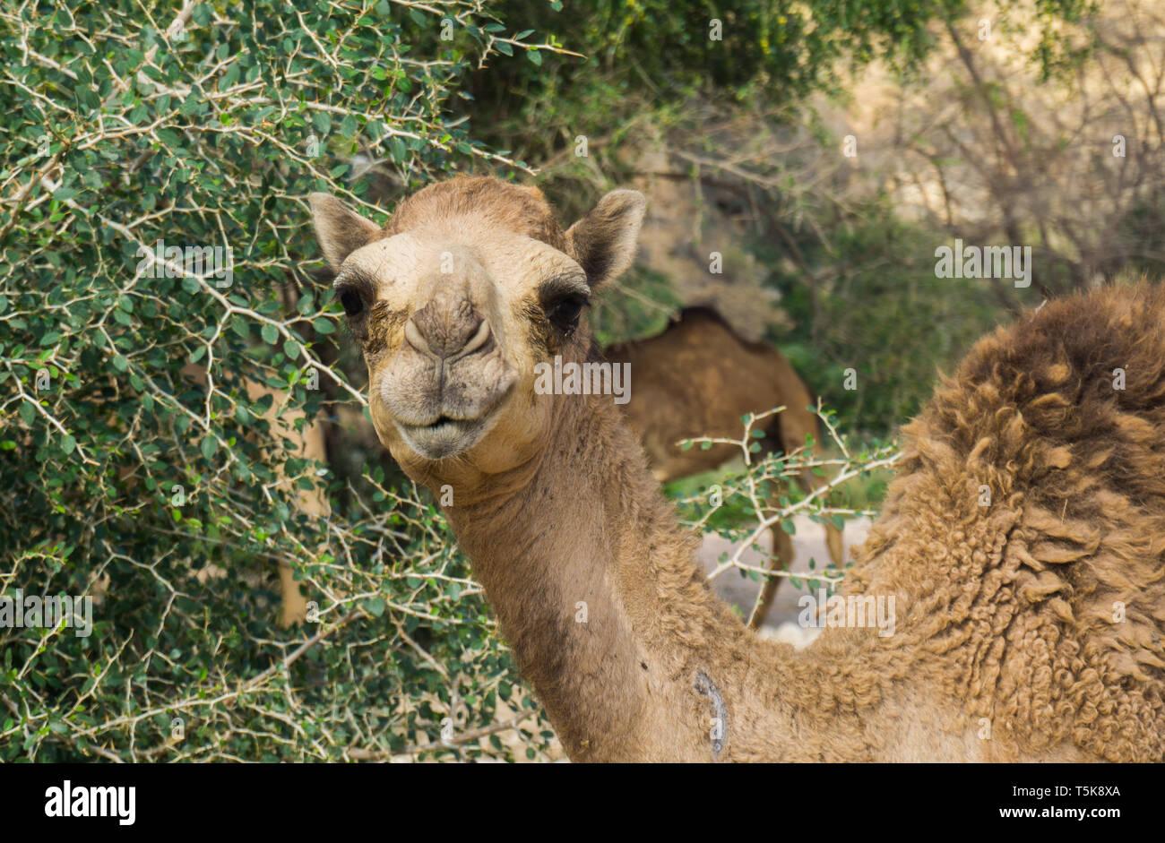 Camel, Salalah, Oman Stock Photo