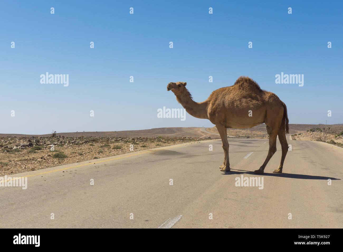 Camels on road, Salalah, Dhorfar, Oman Stock Photo