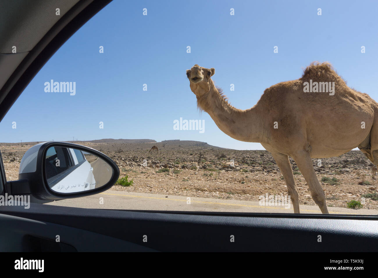 Camel on road, Salalah, Dhorfar, Oman Stock Photo