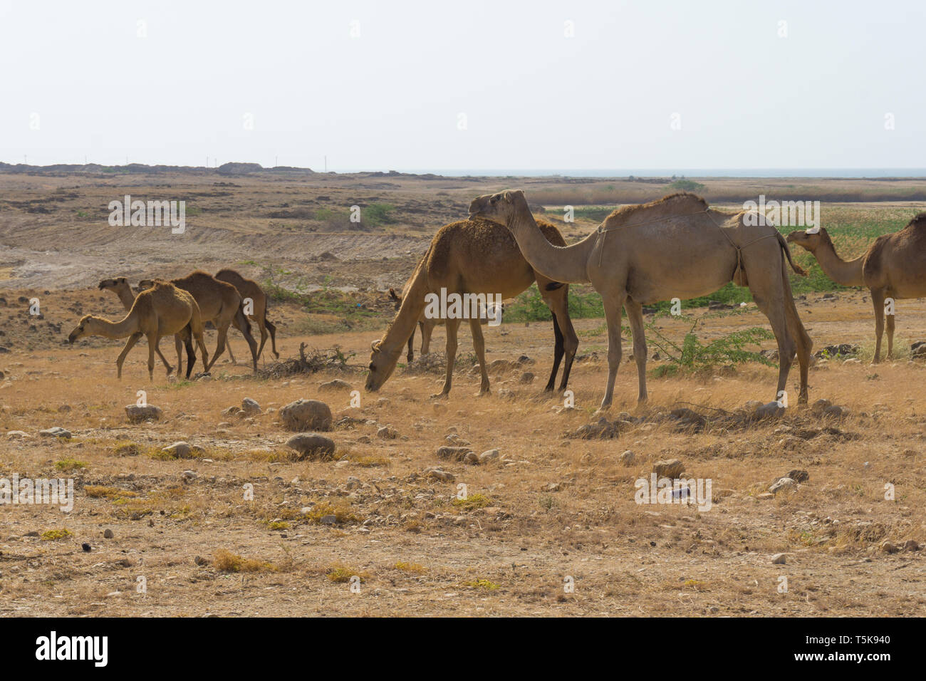 Camels, Salalah, Dhorfar, Oman Stock Photo