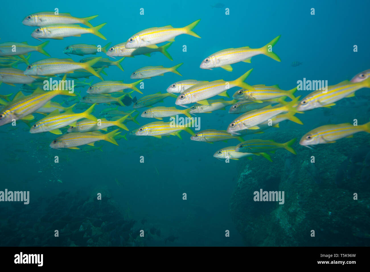 Shoal of fish, Hallaniyat Islands, Oman Stock Photo