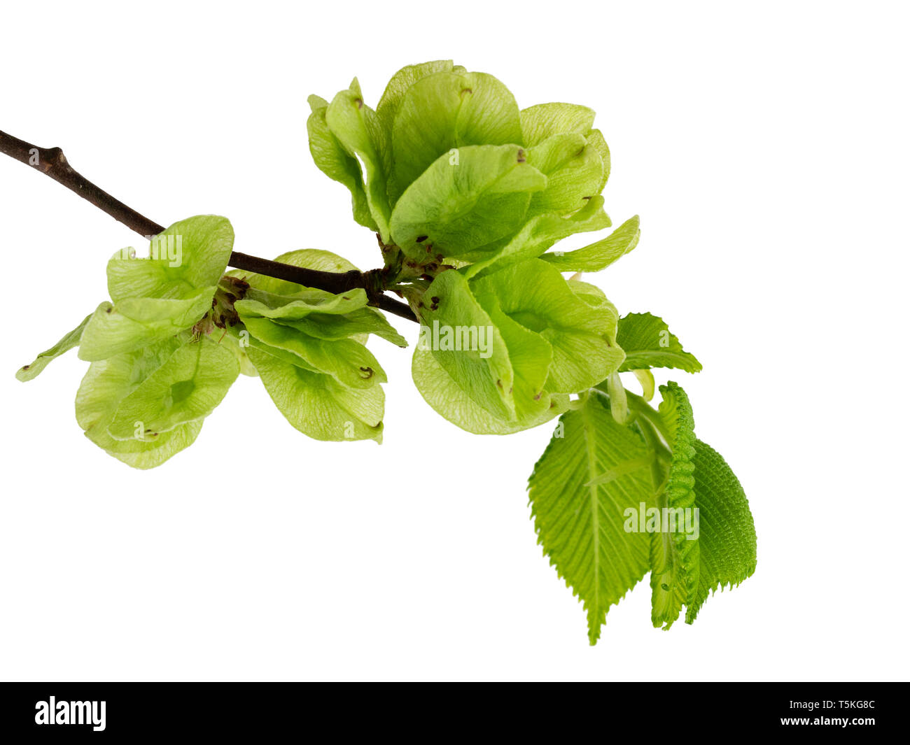Spring foliage and winged seeds of the UK native Wych elm tree, Ulmus glabra on a white background - Stock Image