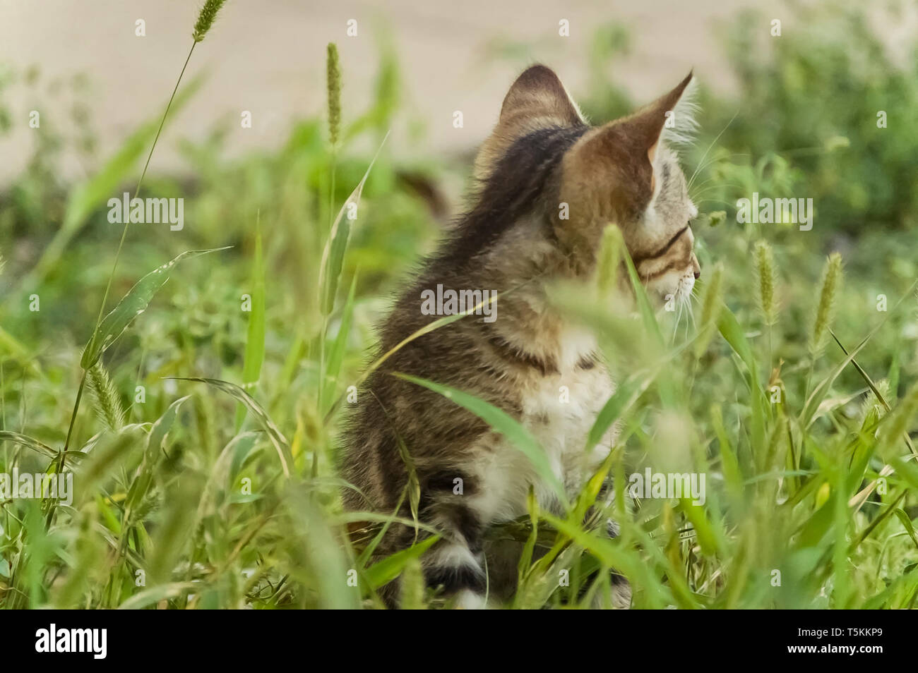 Tabby Kitten in the Grass Turned the Other Direction - Stock Image