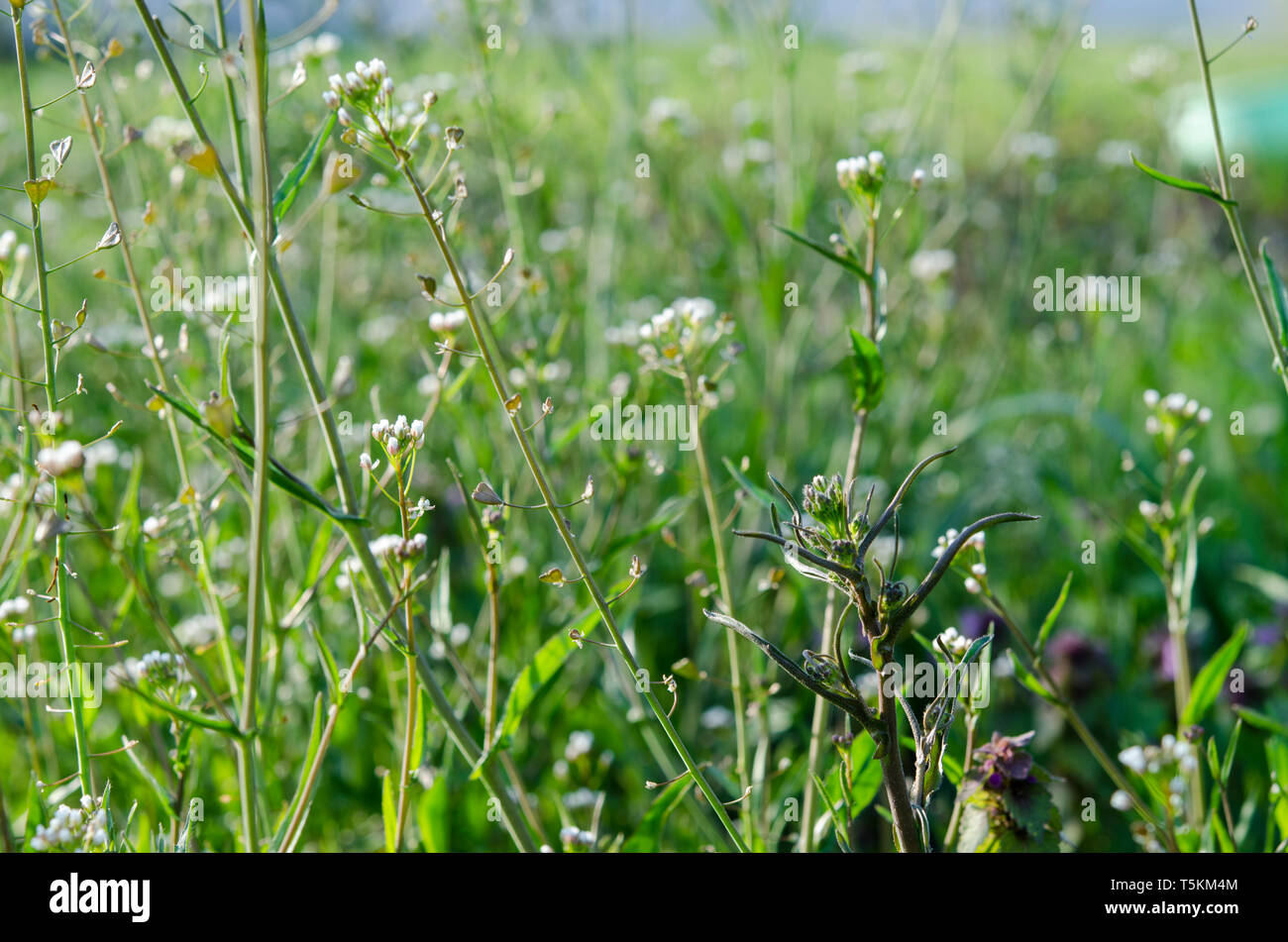 Medicinal plant-Shepherd's bag-grows in the spring garden under the sunlight - Stock Image