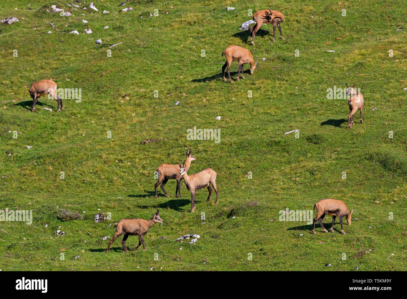 Chamois (Rupicapra rupicapra) herd foraging on mountain meadow / Alpine pasture in summer in the European Alps Stock Photo