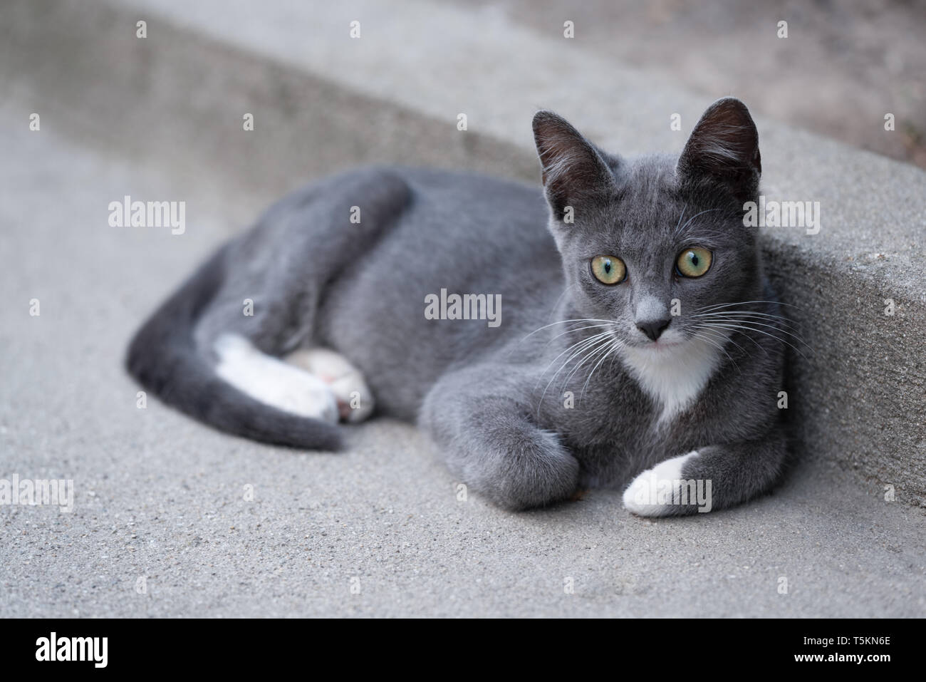 Lovely kitty with grey and white fur relaxing but curious - Stock Image