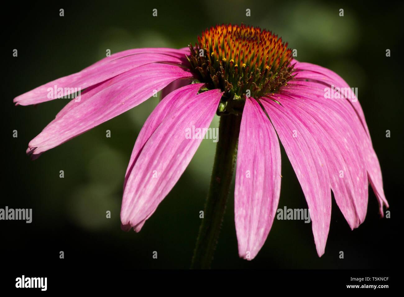 Echinacea / Roter Sonnenhut / Purple Coneflower - Stock Image