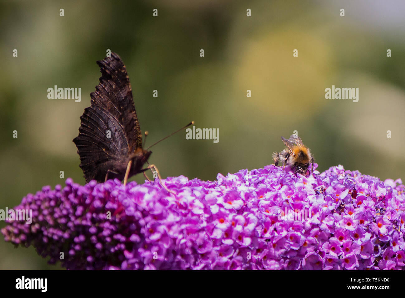 Tierische Freunde auf lila Flieder -Biene Schmetterling / animal friends on purple lilac - bee butterfly - Stock Image
