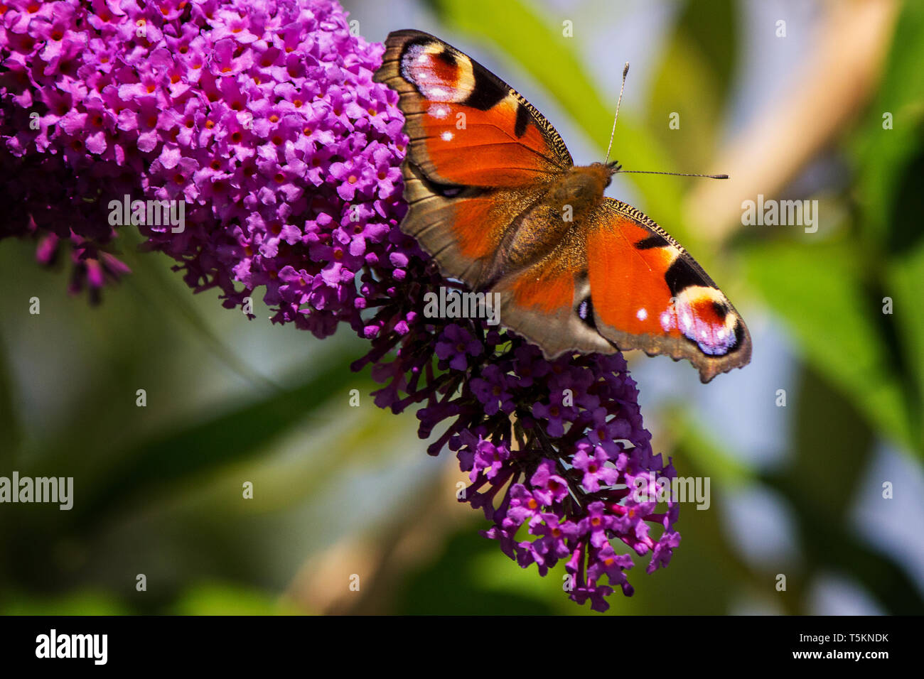 Schmetterling Tagpfauenauge auf Flieder im Garten / peacock butterfly on lilac in garden - Stock Image