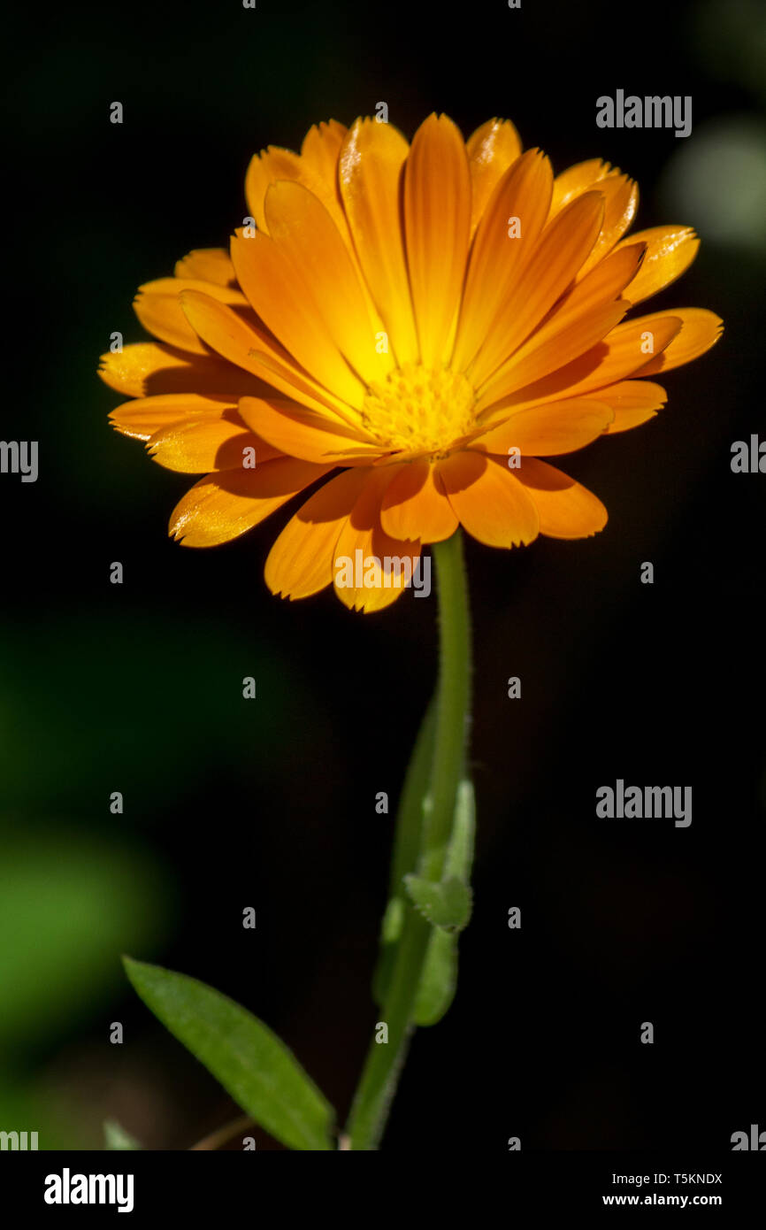 Heilpflanze Ringelblume orange / medicinial plant marigold calendula orange - Stock Image