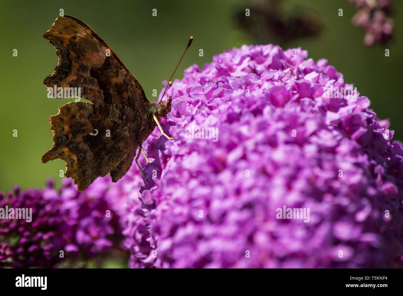 Schmetterling Tagpfauenauge lila Flieder / peacock butterfly purple lilac - Stock Image