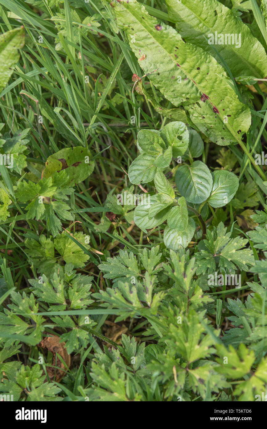 Early spring shoots of Water Mint / Mentha aquatica growing in wet meadow. Leaves become more coarse and downy during summer. Hygrophilous plants. Stock Photo