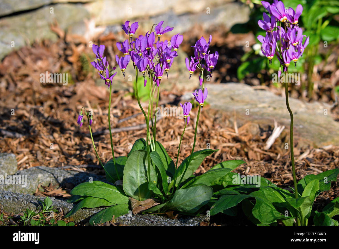 Shooting star or Dodecatheon in early morning sun. It is a genus of herbaceous flowering plants in the family Primulaceae. - Stock Image