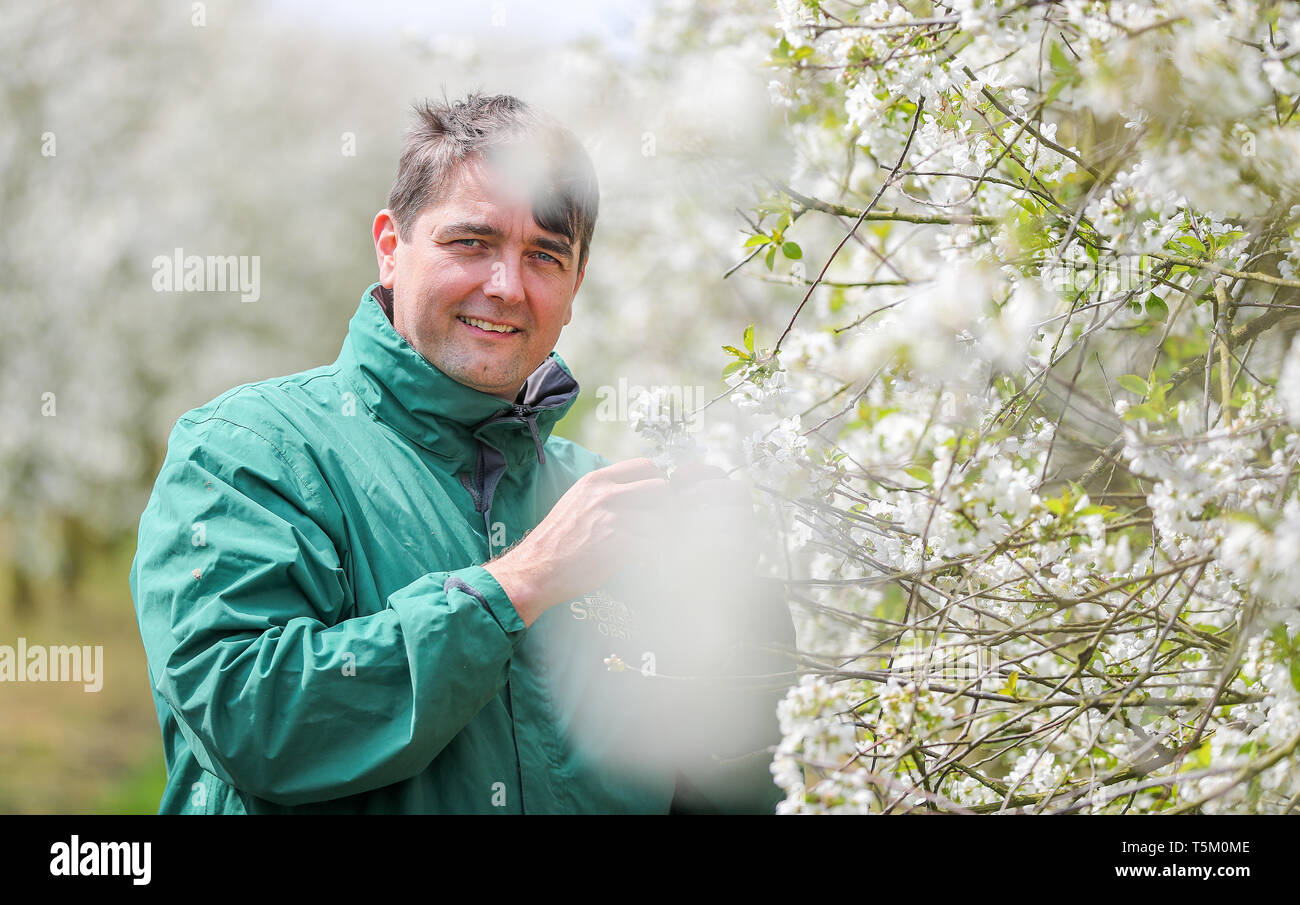 Sornzig, Germany. 23rd Apr, 2019. Jan Kalbitz, board member of Obstland Dürrweitzschen AG, stands in a grove of flowering sour cherries. So far, fruit growers in Saxony and Saxony-Anhalt are looking to 2019 with satisfaction. The fruit blossom is running excellently and there have not yet been any worries about the drought. Credit: Jan Woitas/dpa-Zentralbild/ZB/dpa/Alamy Live News - Stock Image