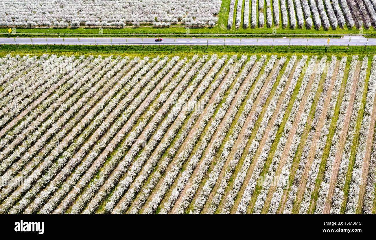 Sornzig, Germany. 23rd Apr, 2019. A road leads through the fruit growing area of Obstland Dürrweitzschen AG, recorded with a drone. So far, fruit growers in Saxony and Saxony-Anhalt are looking to 2019 with satisfaction. The fruit blossom is running excellently and there have not yet been any worries about the drought. Credit: Jan Woitas/dpa-Zentralbild/ZB/dpa/Alamy Live News - Stock Image