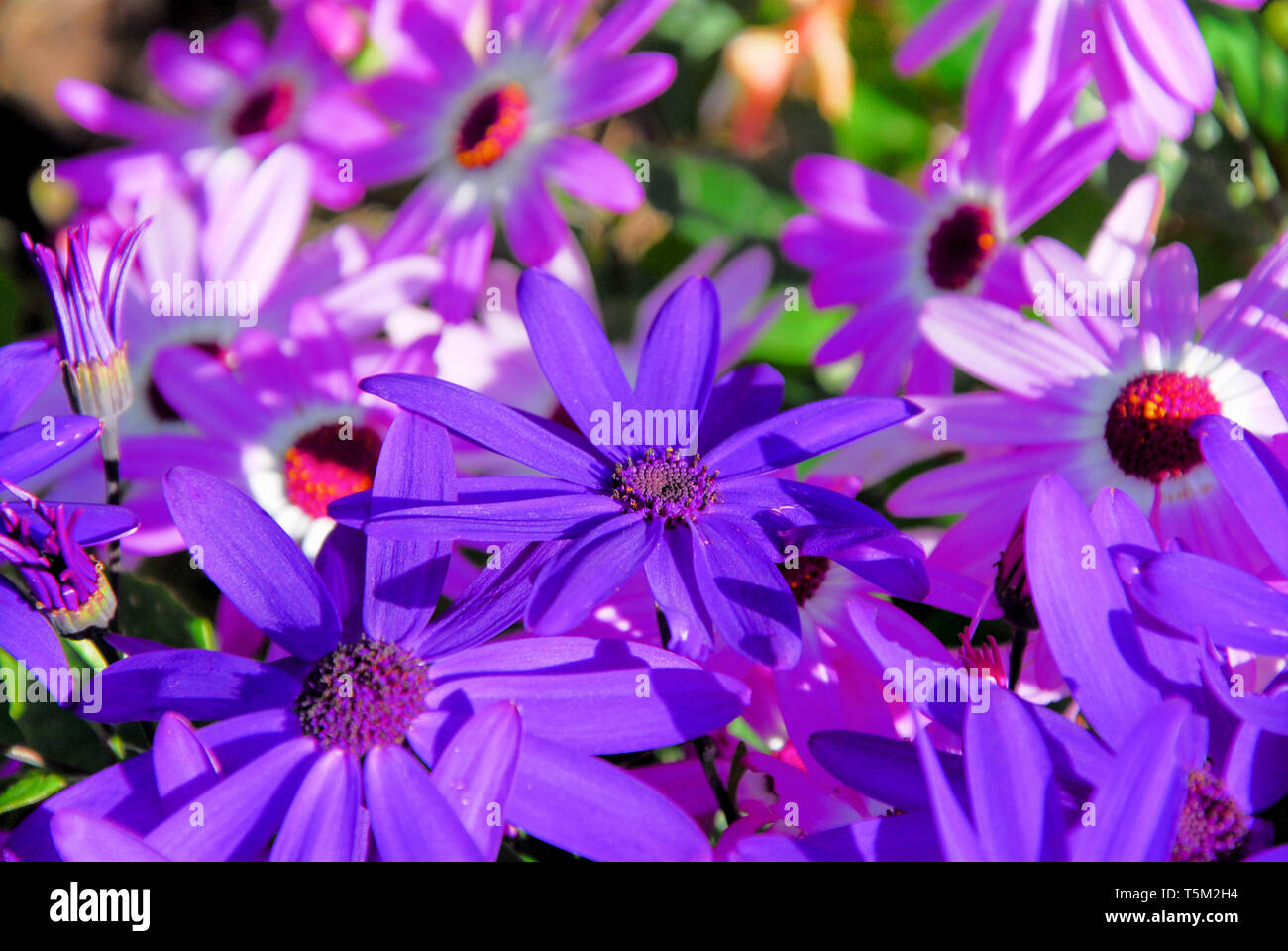 Portland, Dorset. 25th April 2019. 'Senetti' flowers in the sunshine in Portland, ahead of expected storm 'Hannah' on Friday. Credit: stuart fretwell/Alamy Live News - Stock Image